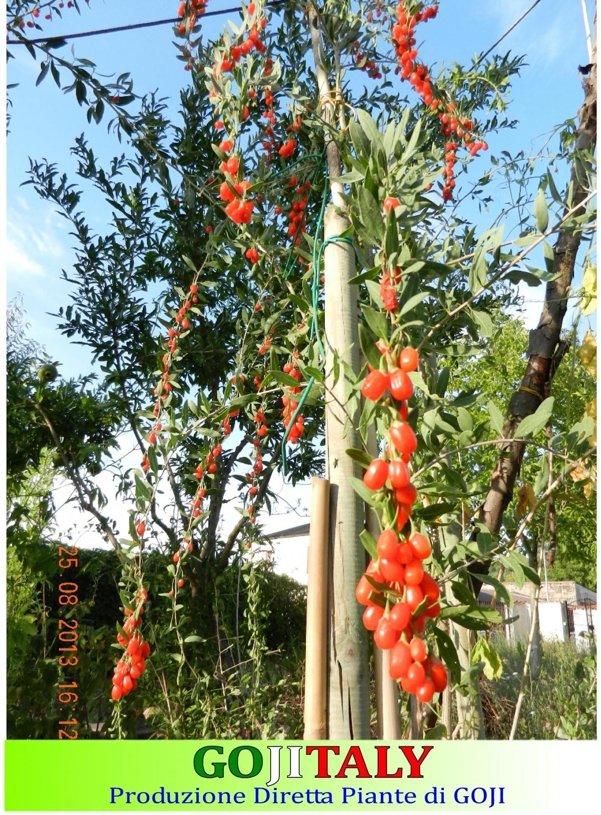 n 2 piante di goji barbarum big lifeberry di 3 anni
